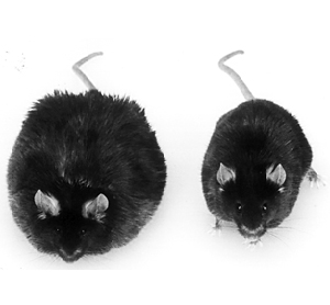 Obese Lepting Knockout Mouse left of normal wildtype mouse.