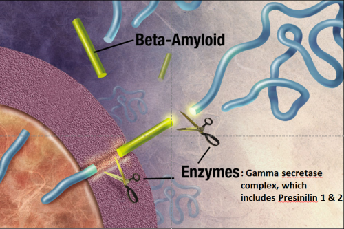 APP Beta-Amyloid Schematic Enzymes Cleavage Presinillin 1 & 2