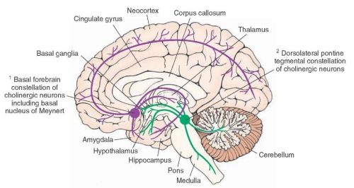 Cholinergic projections in brain basal forebrain nucleus of Meynert