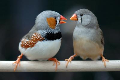 Is The Songbird Vocal Learning Pathway Specialized For Song And Independent From Other Tasks Neuroamer